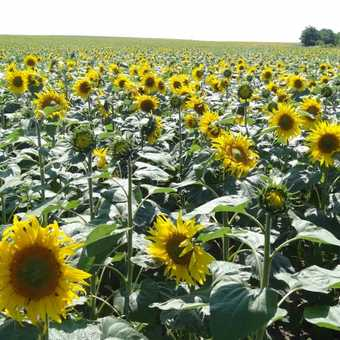 Field upon field of happy smiley sunflowers