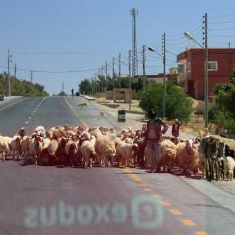 Sheep jam (SUDOXE reflection)