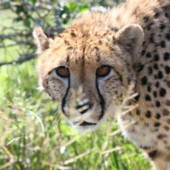 Cheetah, Hopewell, Eastern Cape, South Africa