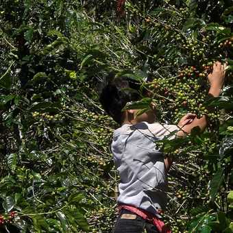 A child worker picking coffee at the plantation