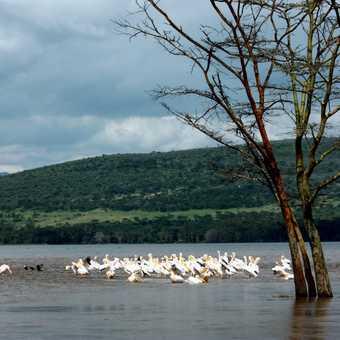 Pelicans on L Nakuru