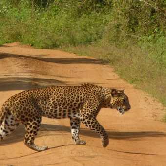 Road Leopard