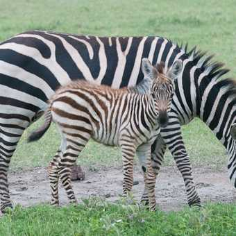 Zebra + young