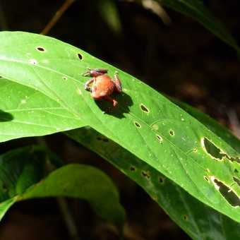 Little red frog