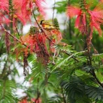 Black head weaver in bottle brush tree