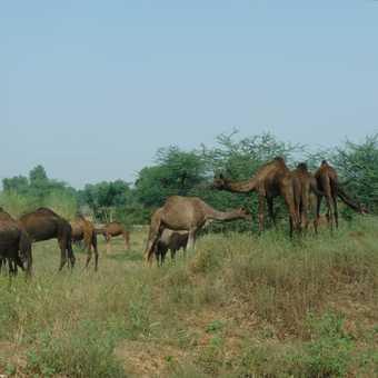 Camels grazing near roadside