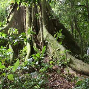 a very big tree near Arenal volcano