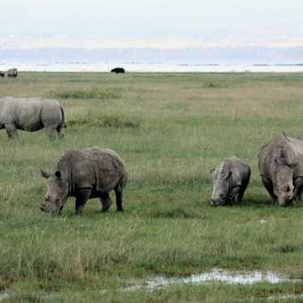 White rhinos - L Nakuru