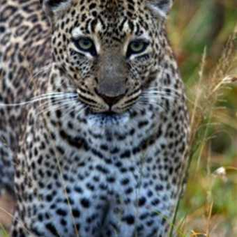 6.45am: Leopard