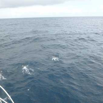 More common dolphins