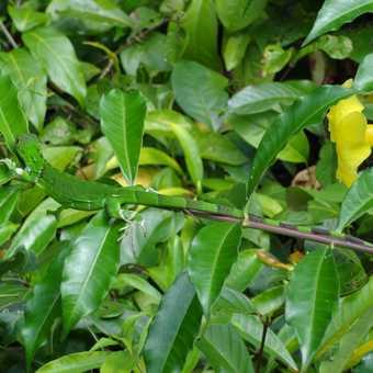 Camouflaged lizard