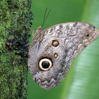 Owl Butterfly - Tortuguero