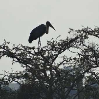 Hornbill.