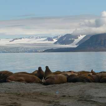 Male Walrus Haul-out