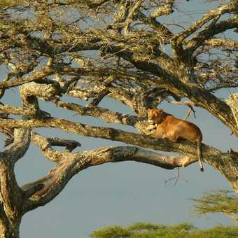 Tree Lion 2