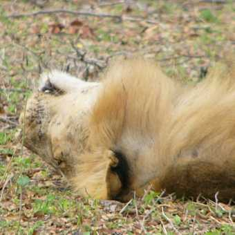 Lion doing what lions do best 1