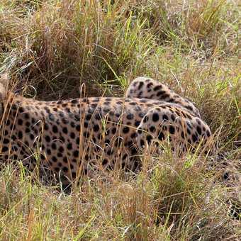 Cheetah just after a kill