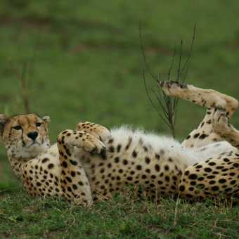 I can do this as well!! Cheetah playing to the audience in the Masai Mara.