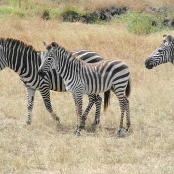 Baby Zebra (Foal)