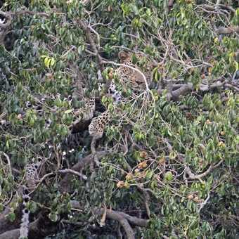 Arboreal Leopard
