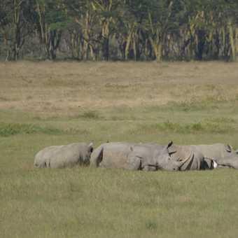 More rhinos