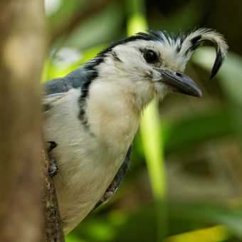White Throated Magpie-Jay, Arenal Volcano