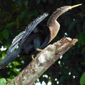 Anhinga or Snake Bird