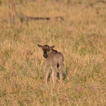 Tiny baby Wildebeest
