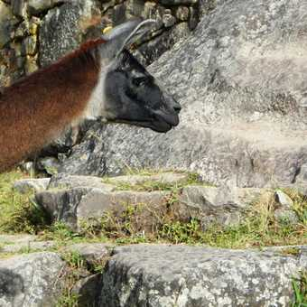 Alan the alpaca looking as dubious about the Inca Steps as I was myself.
