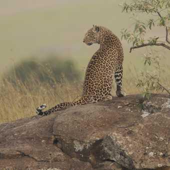 Leopard looking left