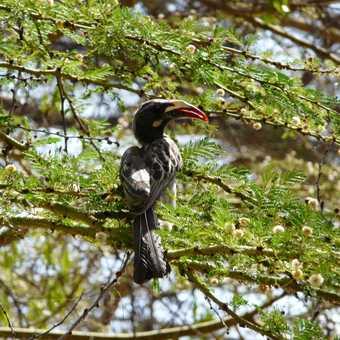 Hornbill in tree