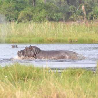 Grumpiest hippo in the delta!