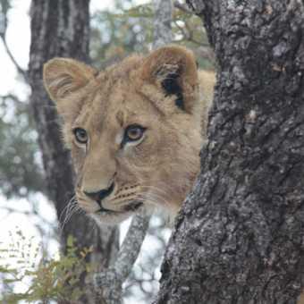 Buffalo - Kruger NP