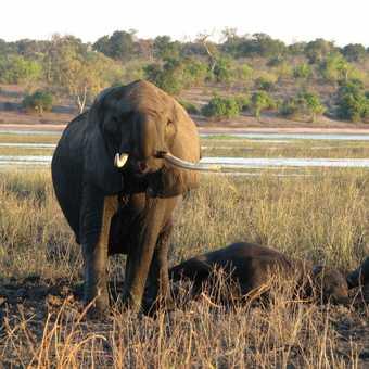 Kissing Elephant, Chobe, Botswana