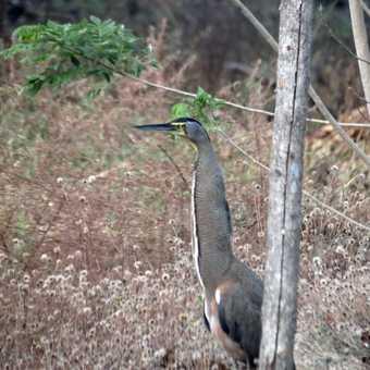 Tiger-Heron - near Tarcoles