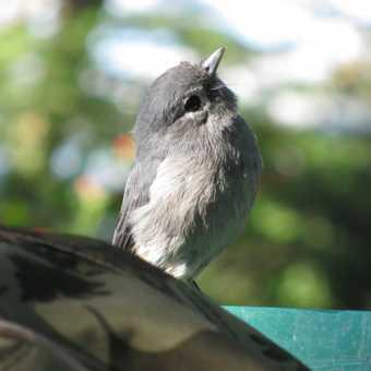 4. Flycatcher, Elsamere, Uganda