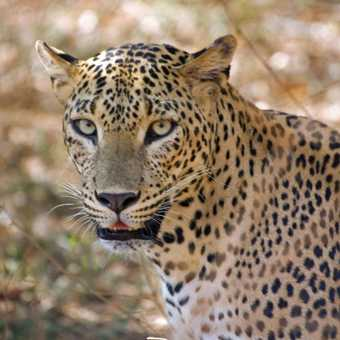 Another leopard!