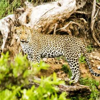 Leopard -Kruger NP