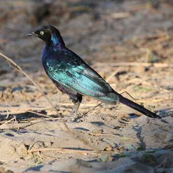 Ruppell's Starling - Awash NP
