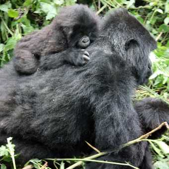 Gorilla trek - Parc National des Volcans