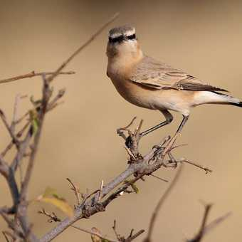 Isabelline Wheatear - Awash NP