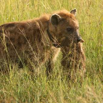Hyena with scavanged meal