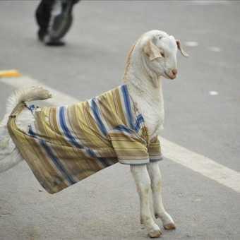 The stylish goat
