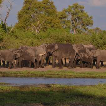 Moremi elephants bathing