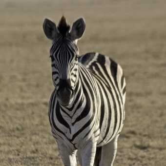 Zebra, early morning, Magadigadi