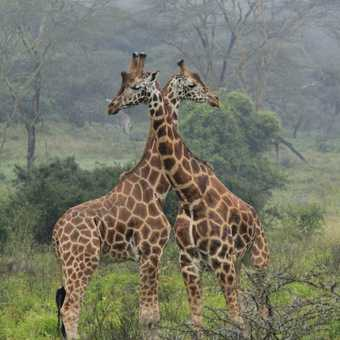 Giraffes necking