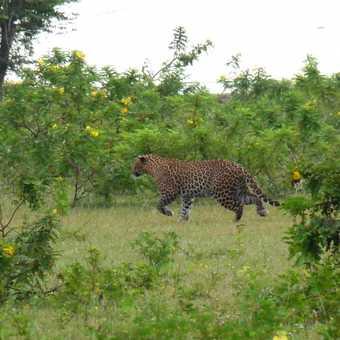 Leopard chasing Jackal