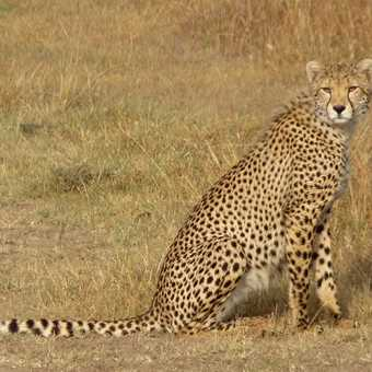 Ol Pejeta Cheetah youngster