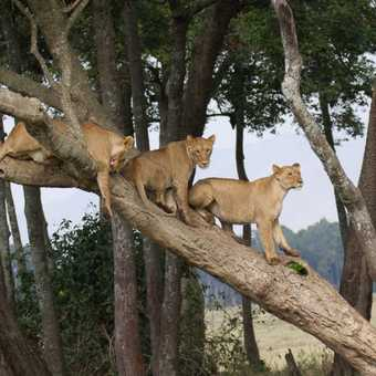 Three lions in a tree
