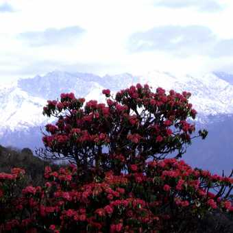 Rhododendron tree in Ghorepani
